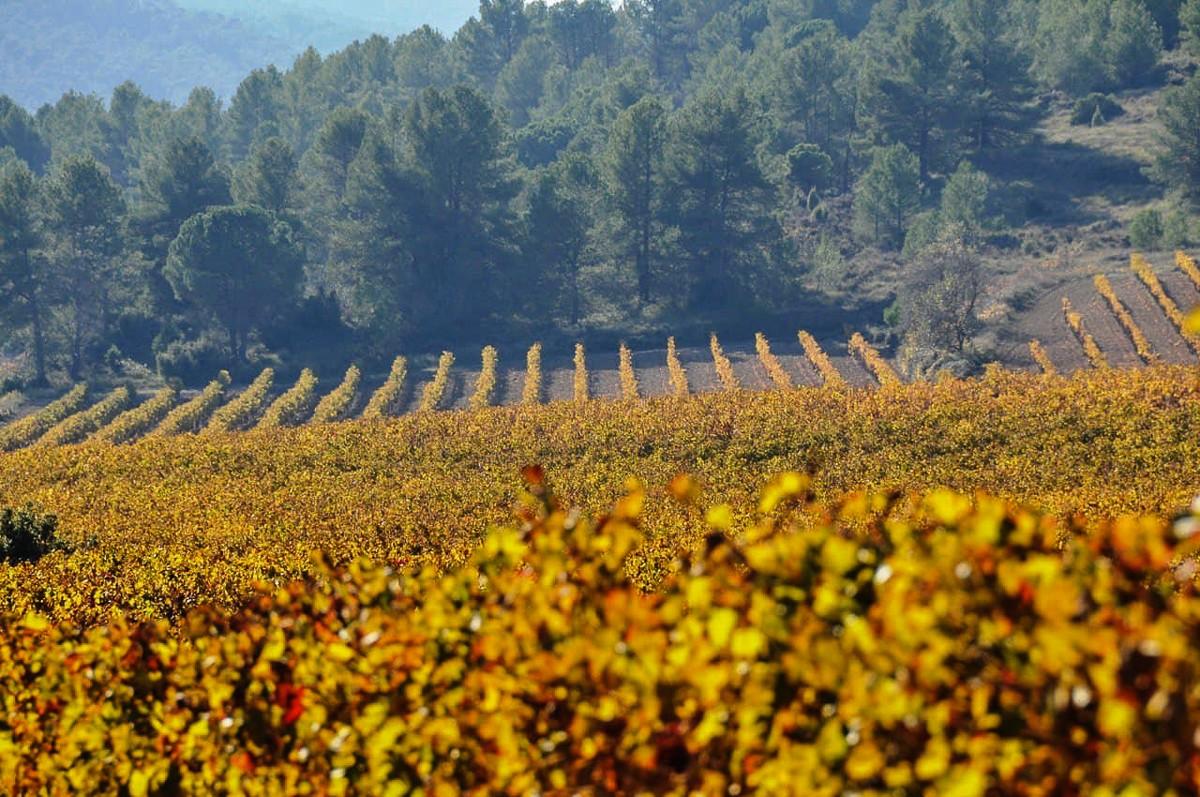 Vinyes de la DO Cava