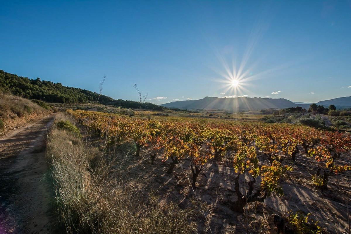 Vinyes de la DO Terra Alta