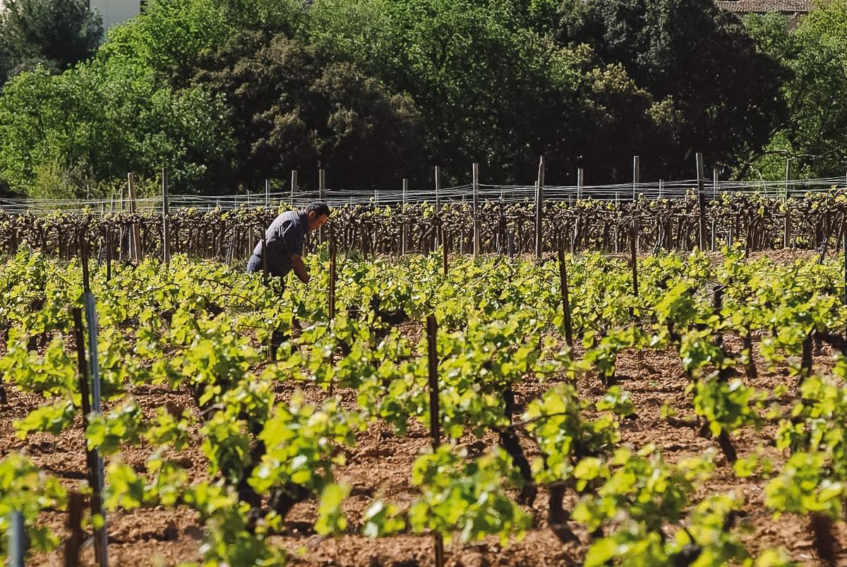 Vinyes de la DO Tarragona