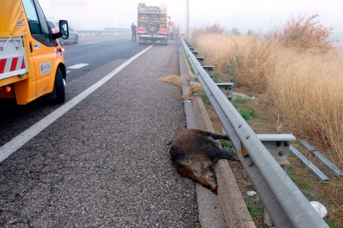 Els accidents de trànsit amb senglars augmenten any rere any.