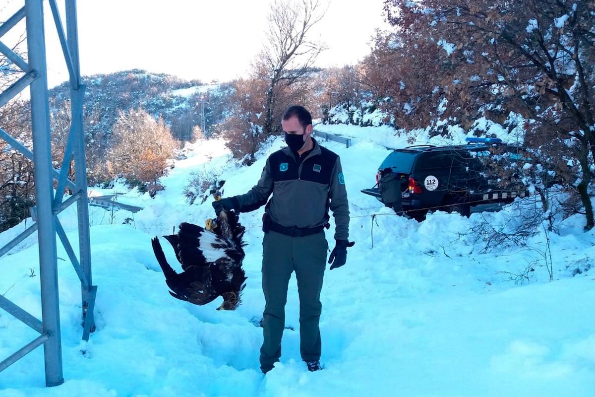 Un agent recollint l'àguila daurada electrocutada