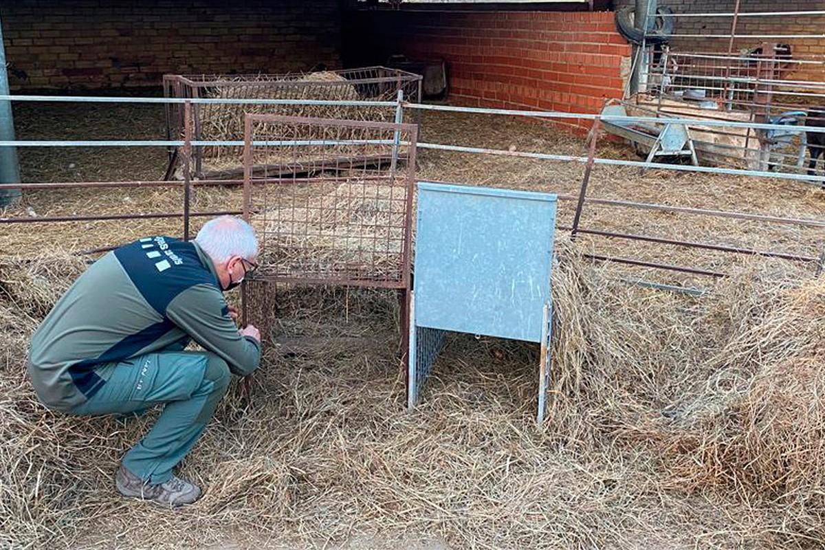 Un agent rural una caixa trampa per poder capturar els gossos que van provocar la matança de 221 xais a Tavèrnoles