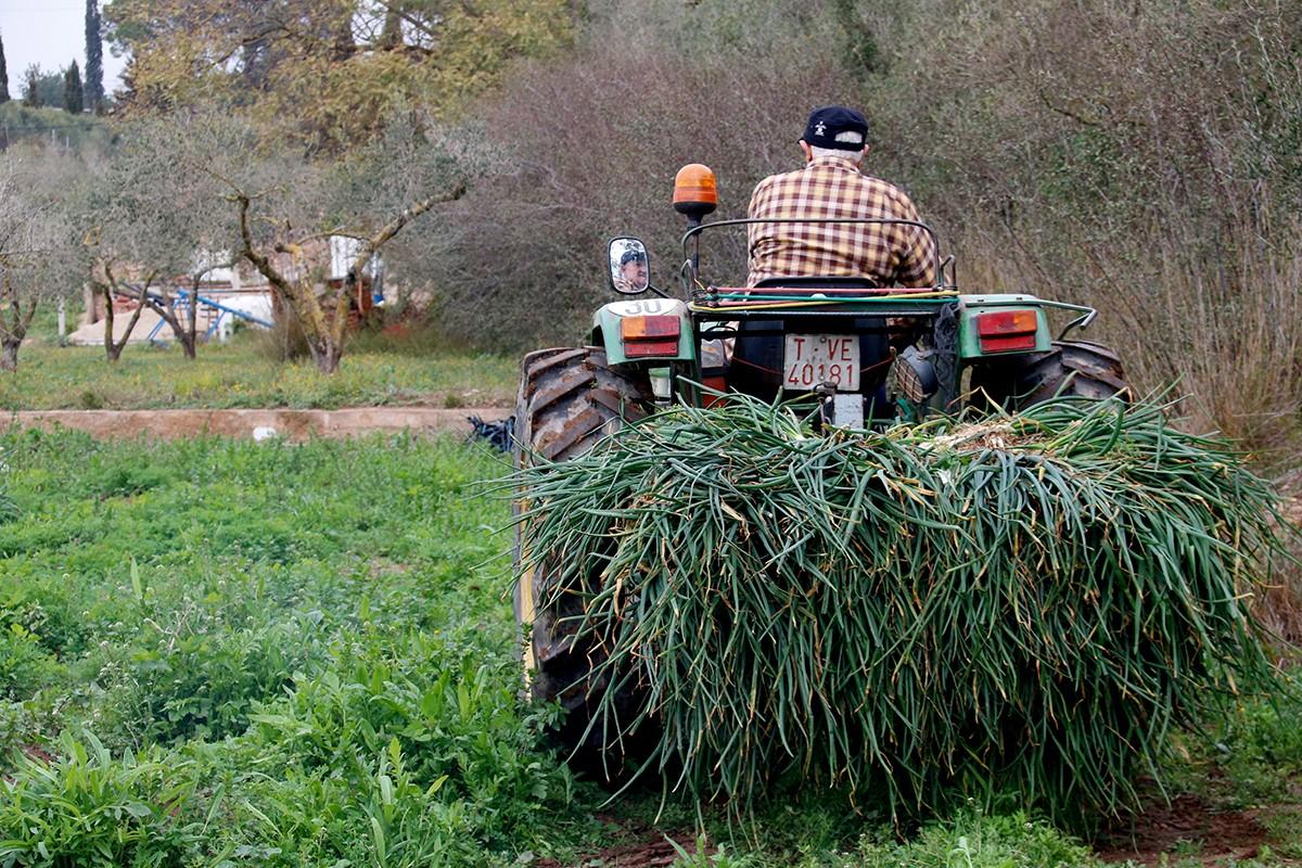 Un pagès amb tractor portant calçots de la IGP Calçot de Valls a una finca del terme municipal de Valls.
