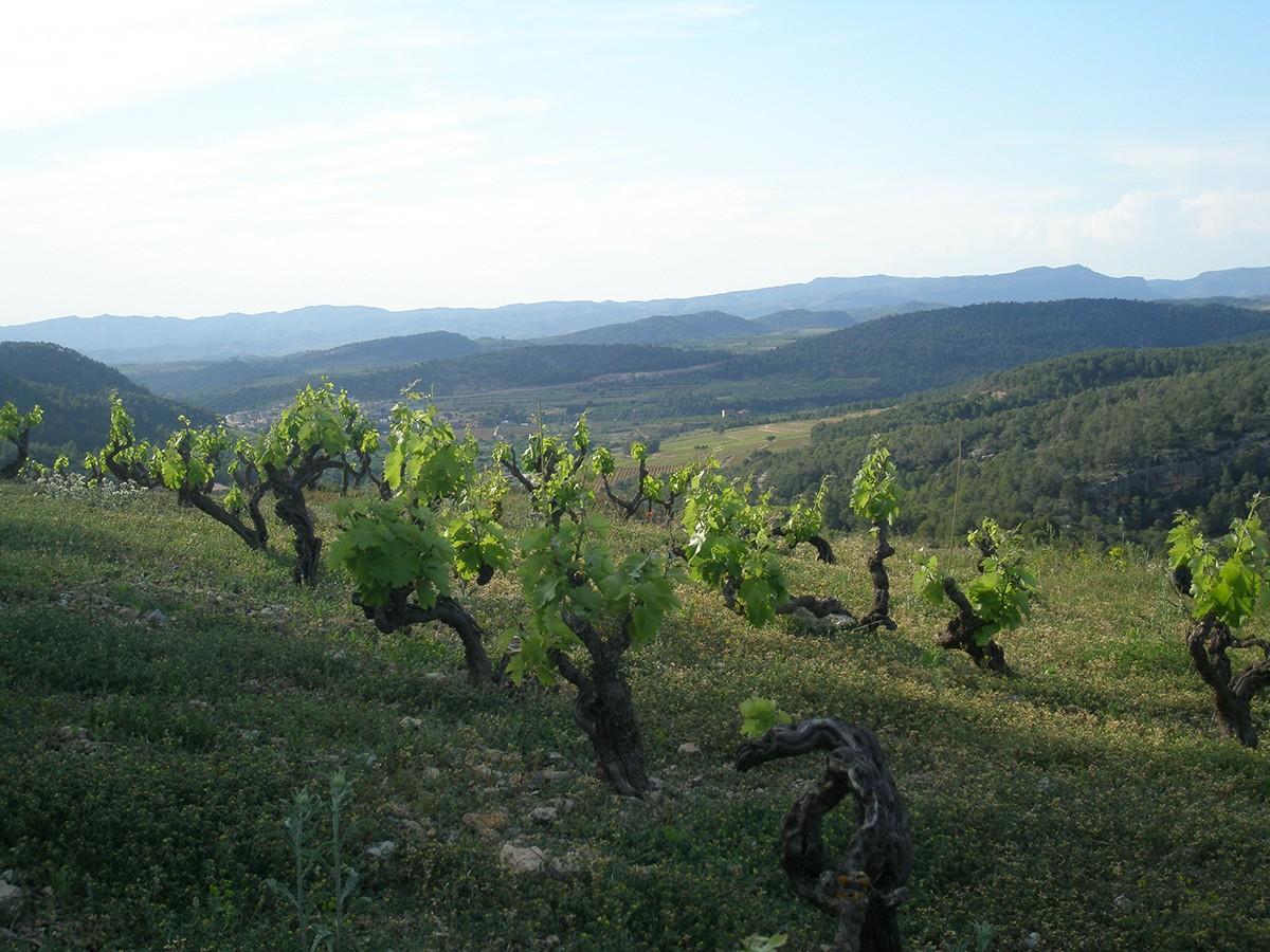 Finca de garnatxa peluda d'on sorgeix el vi Teixar de Vinyes Domènech
