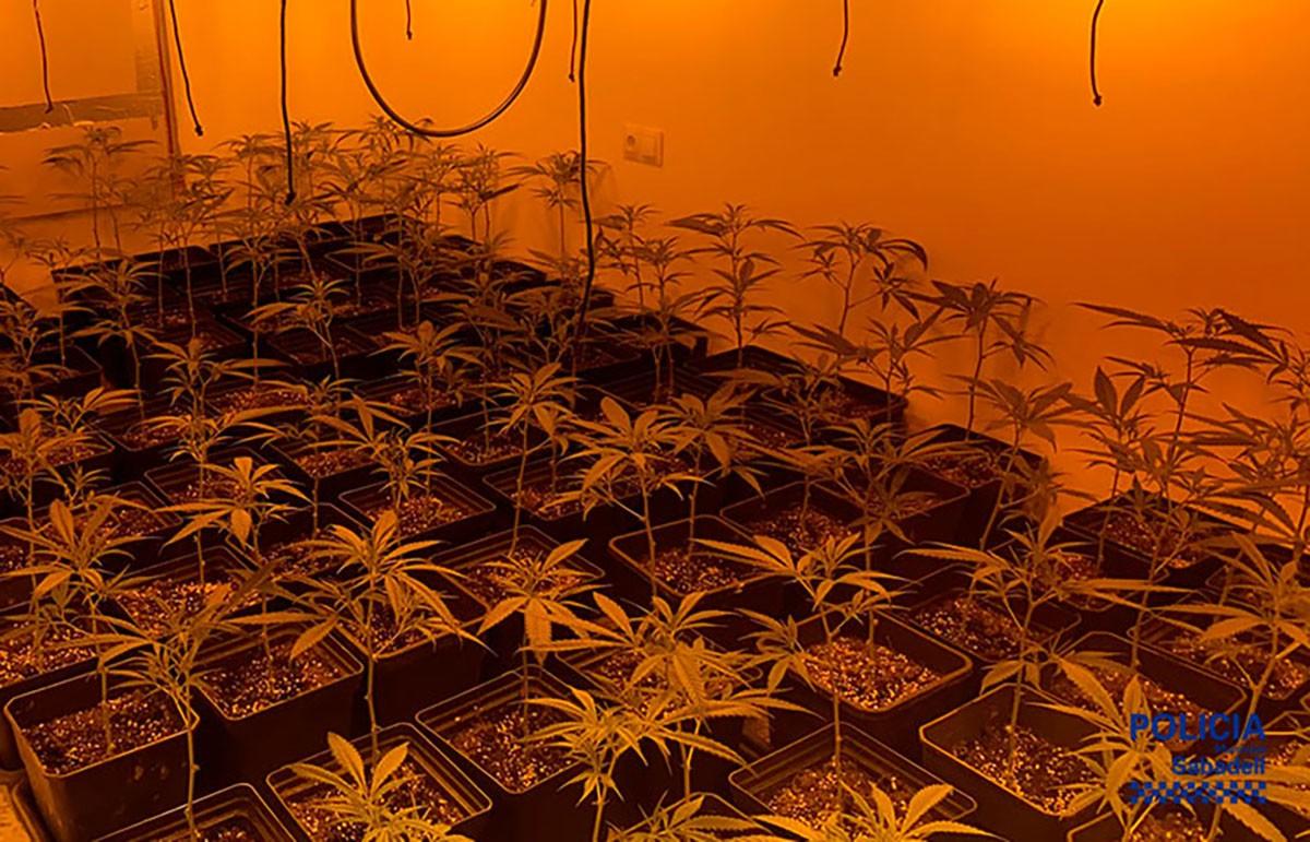 Les plantes trobades a l'interior del pis