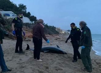 Apareix un exemplar de dofí mort a la platja vendrellenca del Francàs