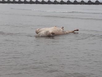 Apareix a la platja de Cunit un exemplar boví en descomposició