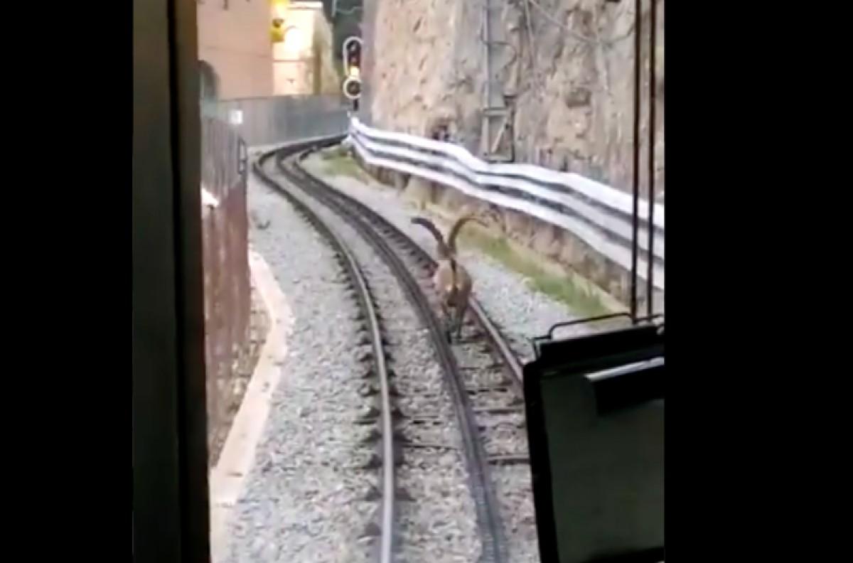 Una cabra salvatge apareix a les vies del cremallera de Montserrat
