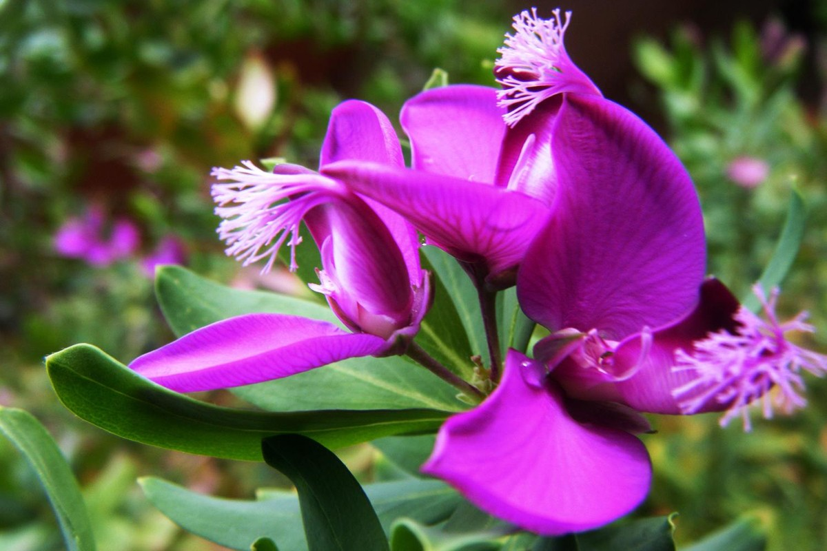 Flor de la Polygala myrtifolia
