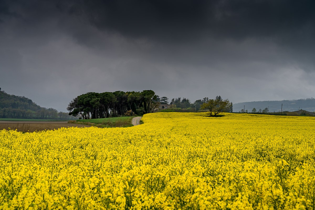 Camps de colza al Lluçanès.