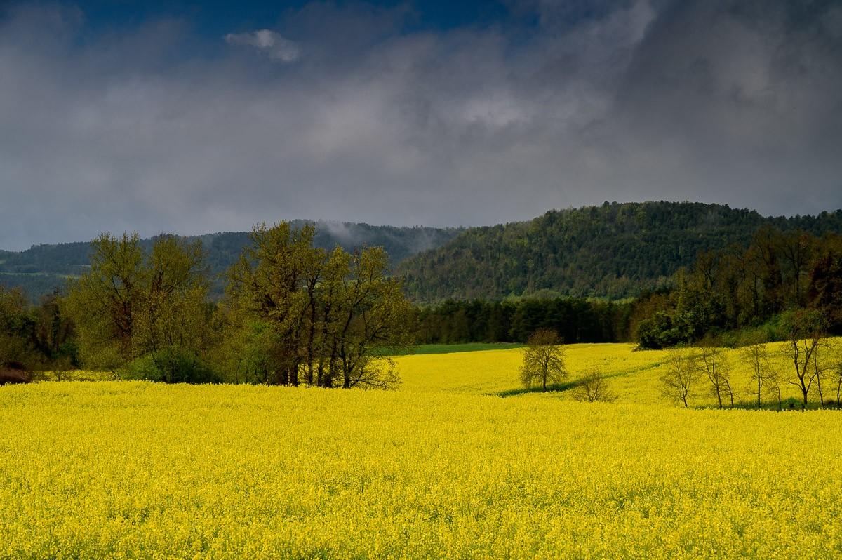 Camps de colza al Lluçanès