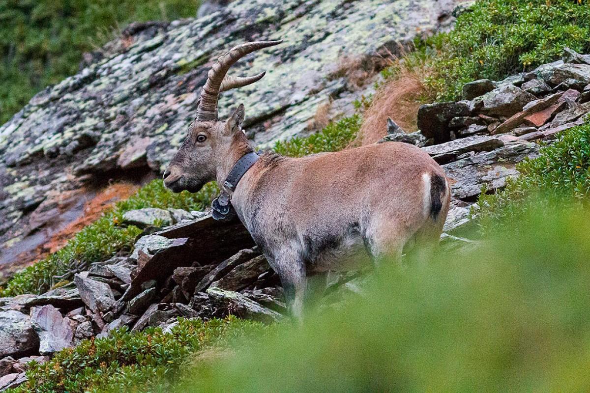 Un herc, a l'Alt Pallars