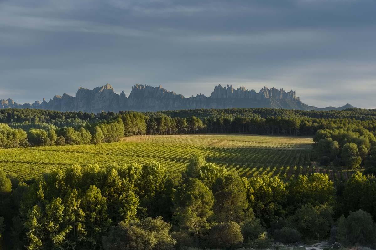 Paisatge amb bosc i vinyes al Bages