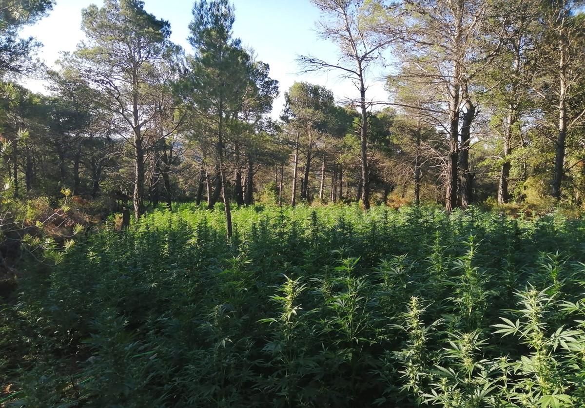 La plantació de marihuana, al terme municipal de Querol, a l'Alt Camp.