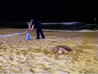 Descobreixen a Calafell el primer niu de tortuga marina d'aquesta temporada