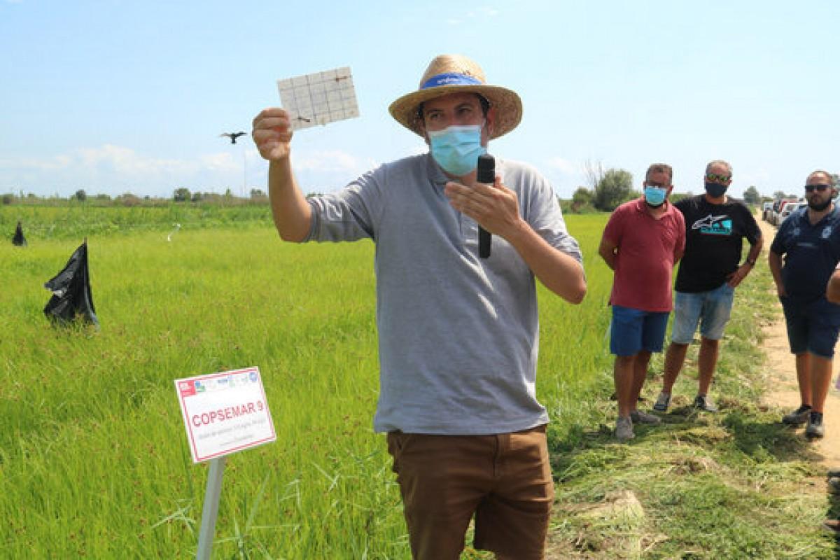 Pla americà de Néstor Pérez, investigador de l'IRTA, mostrant com han desaparegut els exemplars de quironòmids en pocs minuts dins de l'aigua del camp de cultiu ecològic de la finca Riet Vell d'Amposta.