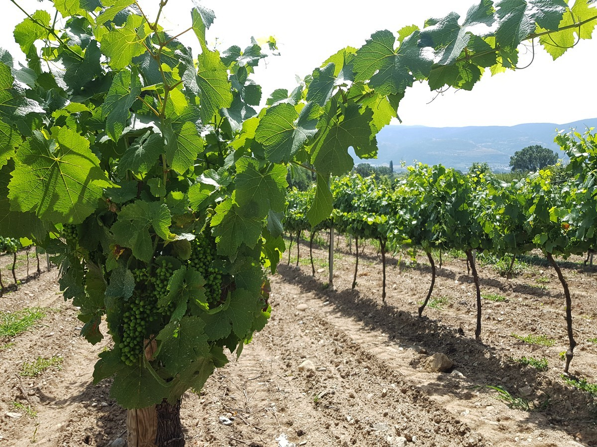 Vinyes de riesling i pinot noir de Torre del Veguer a la Cerdanya.