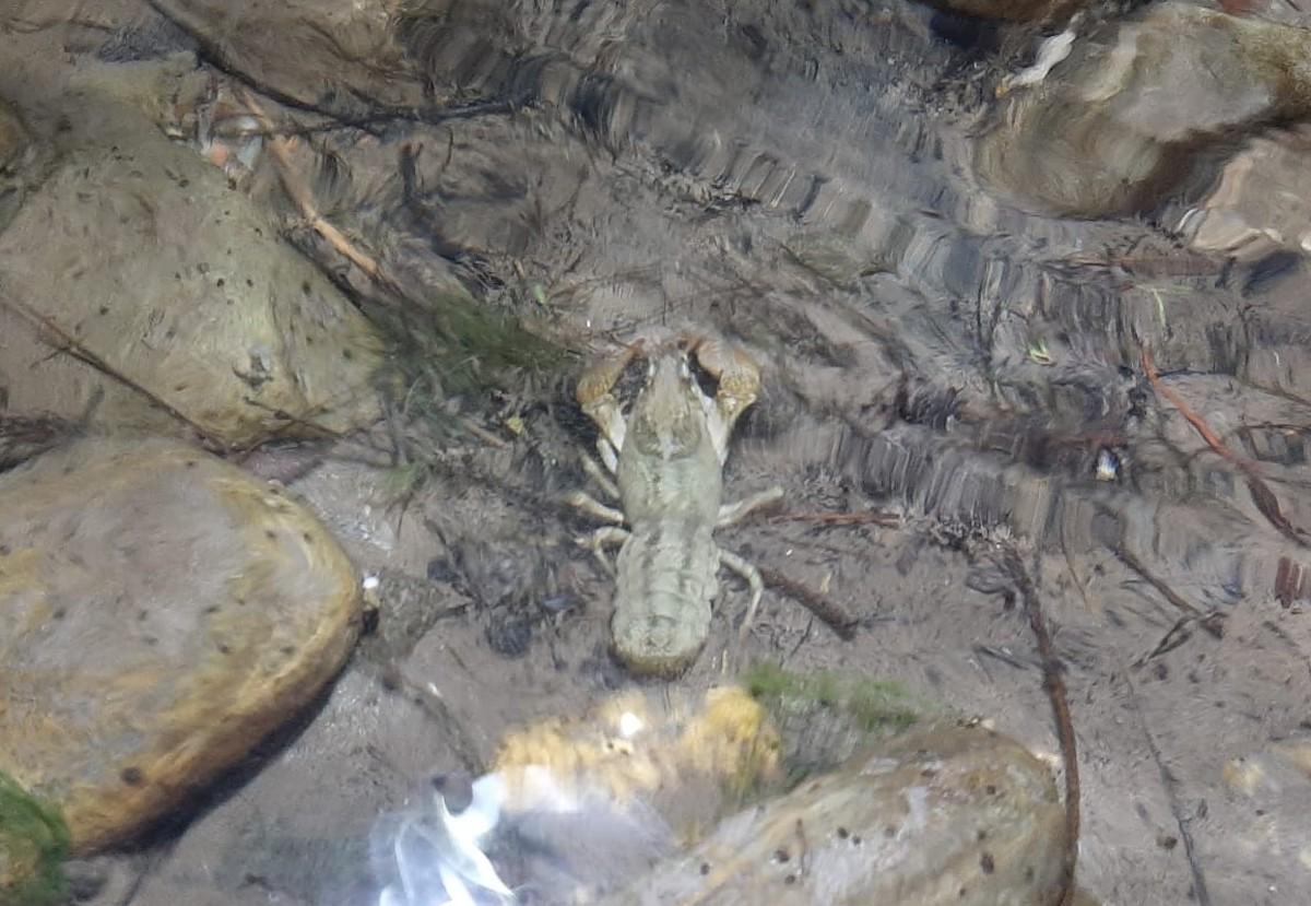 Imatge d'un exemplar de cranc de riu localitzat a Collegats