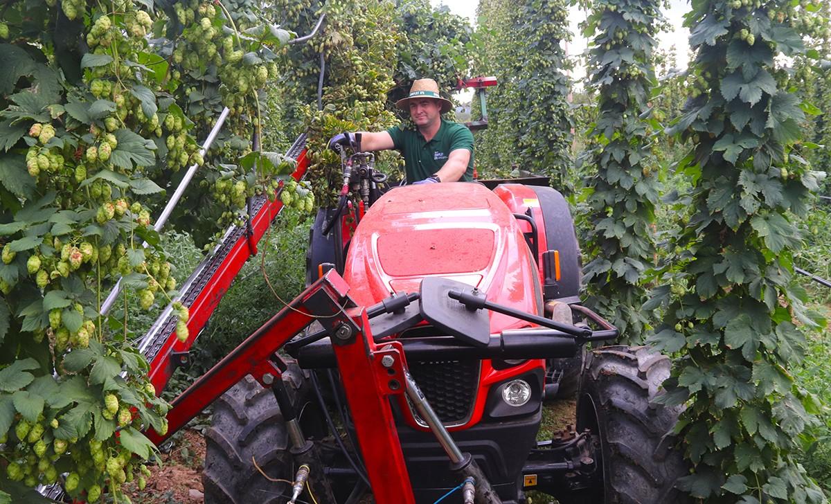 Marius Ruscovan, dalt del seu tractor, collint llúpol a Prades.