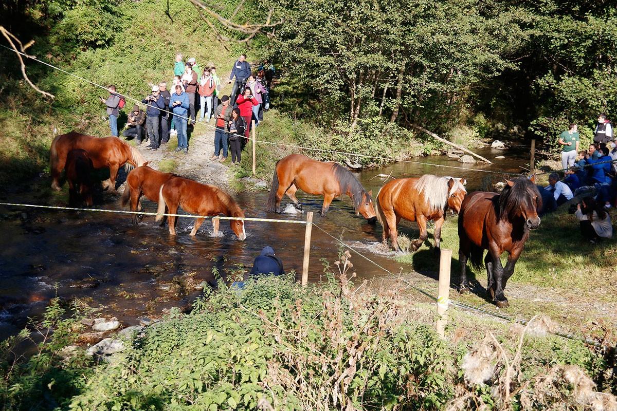 Un grup de cavalls creuant el riu