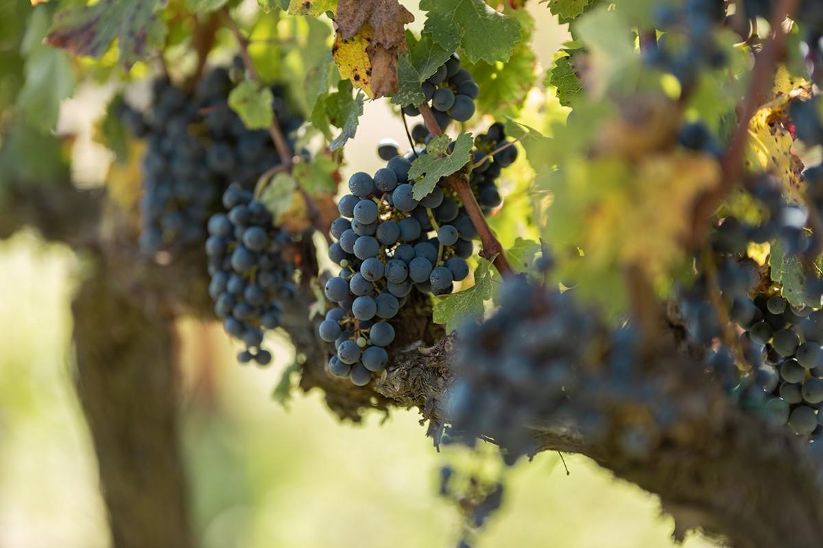 Vinya de cabernet sauvignon del millor vi de guarda català segons Wine Enthusiast
