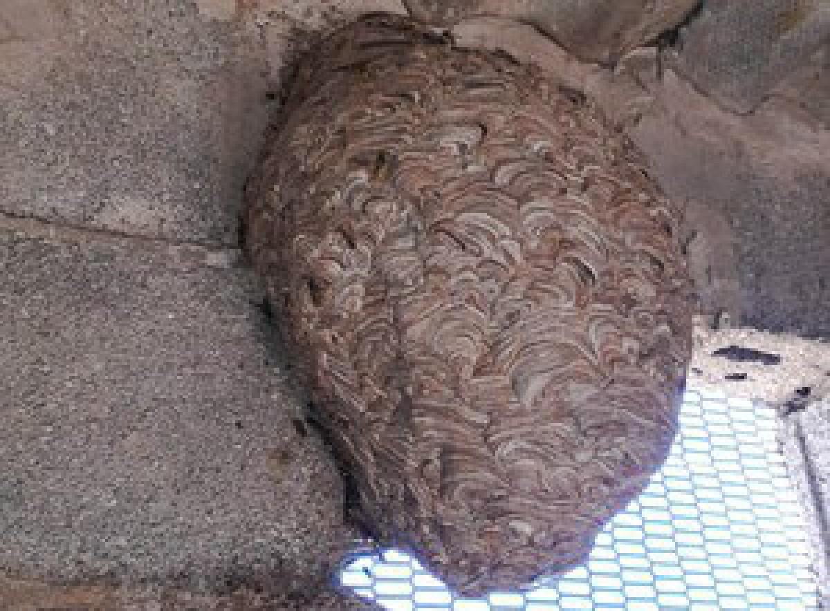 El niu de vespa velutina localitzat per dos veïns de Santa Bàrbara