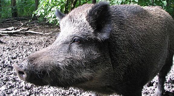 S'avaria un tren de FGC després d'atropellar un porc senglar a Valldoreix