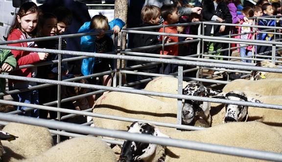 La bellesa de l'ovella ripollesa
