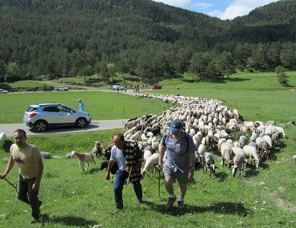 Les ovelles recorren per tercer any el camí ramader de Lluçanès