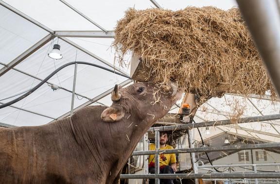 El Mercat del Ram de Vic aposta pel bestiar i els formatges