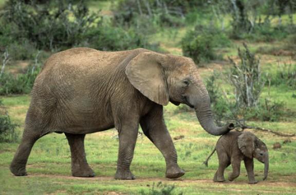 Un caçador il·legal mor esclafat per una desbandada d\'elefants a Sud-àfrica